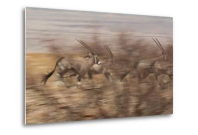 A Group of Oryx on the Run in Namib-Naukluft National Park-Alex Saberi-Metal Print