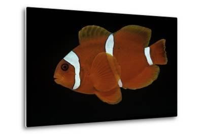Premnas Biaculeatus (Maroon Clownfish, Spine-Cheeked Clownfish)-Paul Starosta-Metal Print