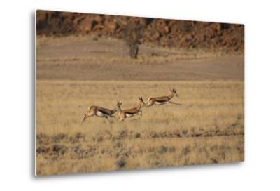 Three Springbok on the Run in Namib-Naukluft National Park-Alex Saberi-Metal Print