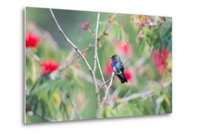 A White-Chinned Sapphire Hummingbird (Hylocharis Cyanus) Perches on a Branch in Brazil-Alex Saberi-Metal Print