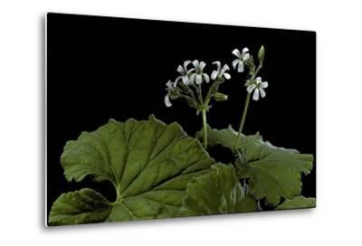 Pelargonium Odoratissimum (Apple Geranium)-Paul Starosta-Metal Print