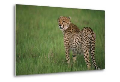 Cheetah Standing in Grass-DLILLC-Metal Print
