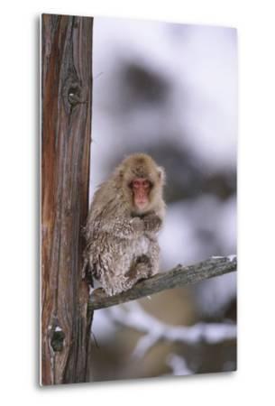 Japanese Macaque-DLILLC-Metal Print