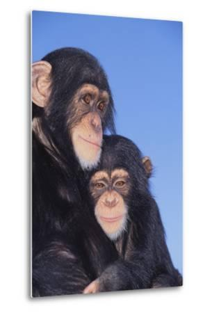 Chimpanzees-DLILLC-Metal Print