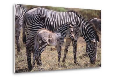 Baby Zebra and Mother-DLILLC-Metal Print