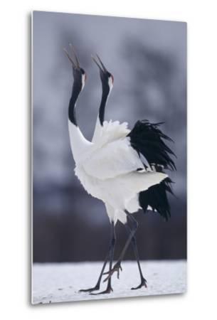 Red-Crowned Cranes in Courtship Display-DLILLC-Metal Print