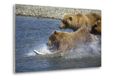 Mother Brown Bear and Her Cubs Chase Salmon at Mikfik Creek During Summer in Southwest Alaska-Design Pics Inc-Metal Print