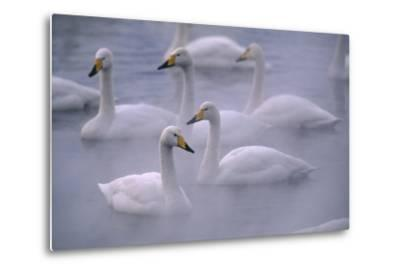 Whooper Swans Floating on Water-DLILLC-Metal Print