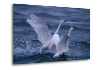 Whooper Swans Landing in Water-DLILLC-Metal Print