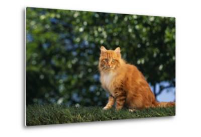 Yellow Cat on Grass-DLILLC-Metal Print