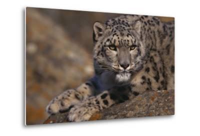 Snow Leopard on Rock-DLILLC-Metal Print