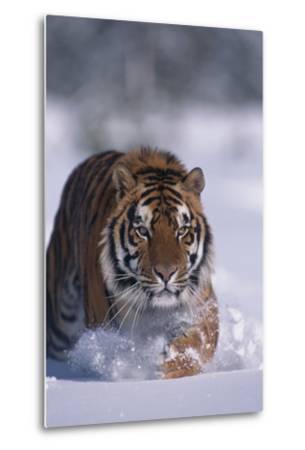 Bengal Tiger Walking in Snow-DLILLC-Metal Print