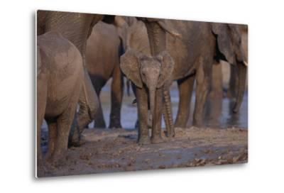 Young and Adult African Elephants-DLILLC-Metal Print