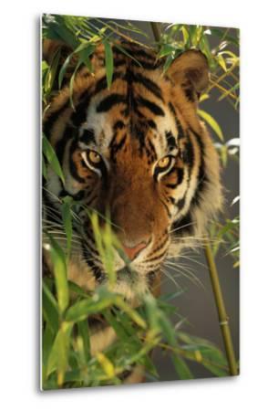 Bengal Tiger behind Bamboo-DLILLC-Metal Print