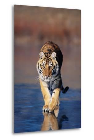Tiger Walking on Wet Surface-DLILLC-Metal Print