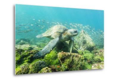 Adult Green Sea Turtle (Chelonia Mydas) Underwater Near Rabida Island-Michael Nolan-Metal Print