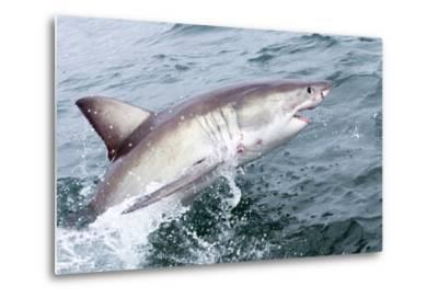 Great White Shark (Carcharodon Carcharias) at the Surface at Kleinbaai in the Western Cape-Louise Murray-Metal Print