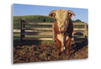 Hereford Bull-DLILLC-Metal Print
