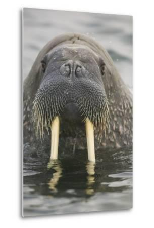 Walrus Looking Straight Ahead-DLILLC-Metal Print