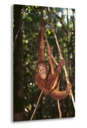 Orangutan-DLILLC-Metal Print