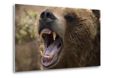 A Grizzly Bear Snarling at the Cheyenne Mountain Zoo-Joel Sartore-Metal Print