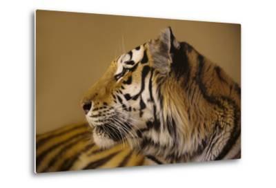 An Endangered Amur Tiger, Panthera Tigris Altaica-Joel Sartore-Metal Print