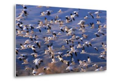 Flock of Snow Geese in Flight-DLILLC-Metal Print