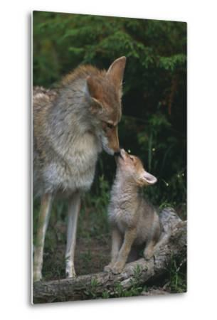 Coyote Mother and Pup-DLILLC-Metal Print