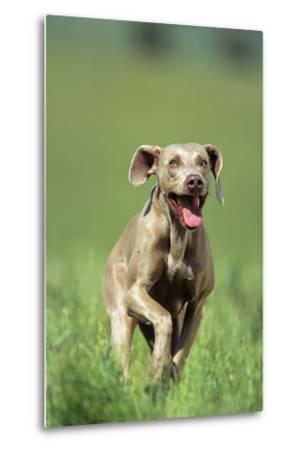 Dog Racing through Grass-DLILLC-Metal Print