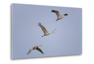 Sandhill Cranes Flying-DLILLC-Metal Print