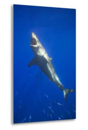 Shark Swimming with School of Fish-DLILLC-Metal Print