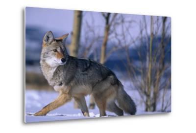 Coyote Walking in Snow-DLILLC-Metal Print