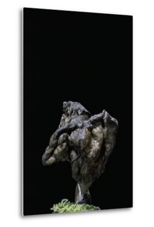 Gyromitra Infula (Hooded False Morel, Elfin Saddle)-Paul Starosta-Metal Print