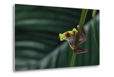 Red-Eyed Tree Frog-DLILLC-Metal Print
