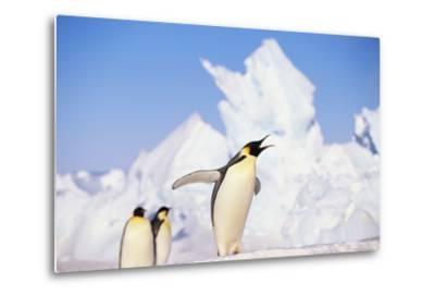 Emperor Penguin Calling-DLILLC-Metal Print