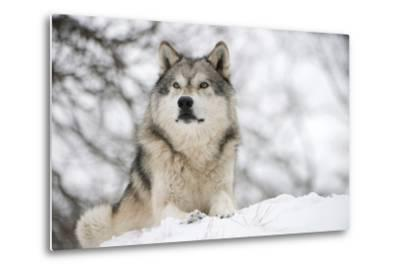 North American Timber Wolf (Canis Lupus) in Forest-Louise Murray-Metal Print