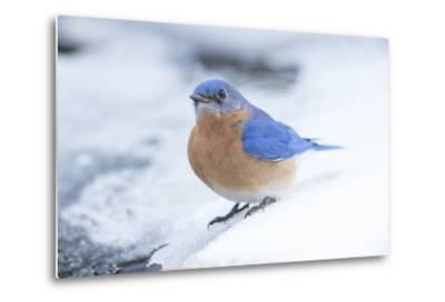 Eastern Bluebird-Gary Carter-Metal Print