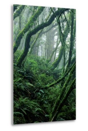 Moss-Covered Tree Trunks and Ferns in Muir Woods National Monument, California-Keith Ladzinski-Metal Print