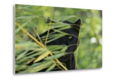 Black Leopard behind Leaves-DLILLC-Metal Print