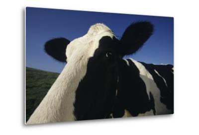 Holstein-DLILLC-Metal Print