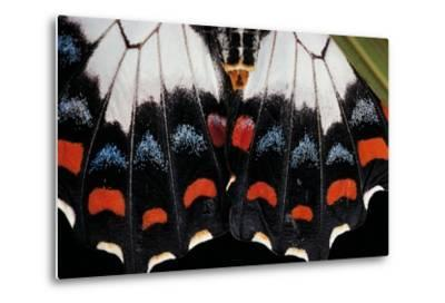 Papilio Aegeus (Orchard Swallowtail Butterfly, Large Citrus Butterfly) - Wings Detail of Female-Paul Starosta-Metal Print