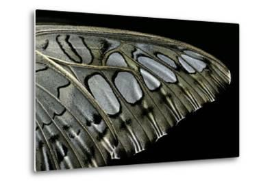Parthenos Sylvia (Clipper Butterfly) - Wings Detail-Paul Starosta-Metal Print