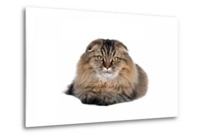 Highland Folt Cat-Fabio Petroni-Metal Print