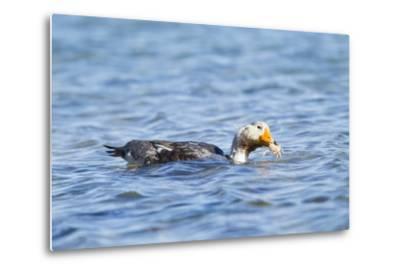 Falkland Flightless Steamer Duck-Joe McDonald-Metal Print