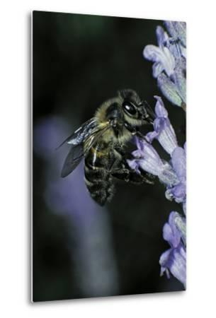 Apis Mellifera (Honey Bee) - Foraging on a Lavender Flower-Paul Starosta-Metal Print