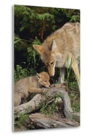Coyote and Her Pup-DLILLC-Metal Print