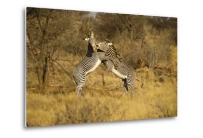Grevy's Zebra Fighting-Mary Ann McDonald-Metal Print