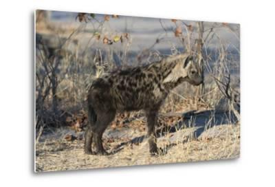 Spotted Hyaena-Sergio Pitamitz-Metal Print