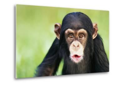 Young Chimpanzee Puckering-DLILLC-Metal Print