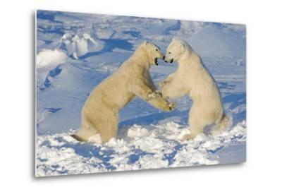 Polar Bears Wrestling and Play Fighting at Churchill, Manitoba, Canada-Design Pics Inc-Metal Print